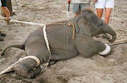 elefante in addestramento